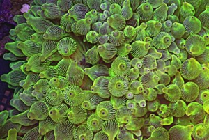 Green Bubble tip Anemone