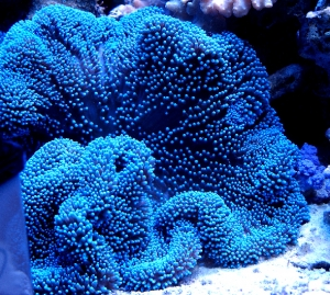 Blue Carpet Anemone