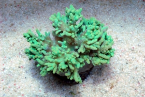 Green Finger Leather Coral