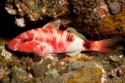 Black spot Goat Fish