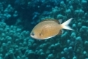 Yellowedge Chromis Fish