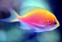 Sunburst Anthias Fatheads