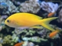 Yellow Anthias Female