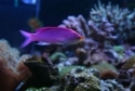 Purple Pygmy Anthias