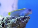 Blue and Gold Blenny