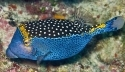 Blue Face Boxfish