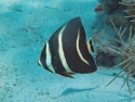 Black/Gray Angelfish