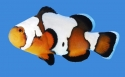 Mated Black Ice Clownfish