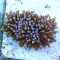 Orange/Blue Australian Torch Coral