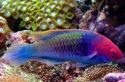 Ruby Head Fairy Wrasse