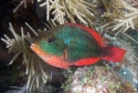 Red Band Parrot Fish