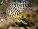 Yellow Head Moray Eel - Gymnothorax rueppelliae