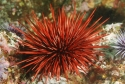 Bali Red Sea Urchin