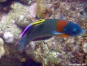 Orange Saddle Wrasse