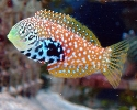 Divided Leopard Wrasse: Female - Macropharyngodon bipartitus