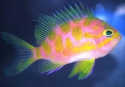 Japanese Blotchy / Borbonius Anthias