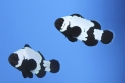 Phantom Clownfish Mated Pair