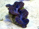 Small Maxima Clams