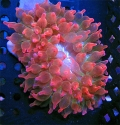 Rainbow rose bubble anemone