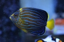 Blueline Angel Fish