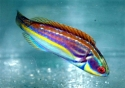 Female Labouti Wrasse