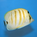 Pebble Butterflyfish