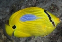 Blue Blotched Butterflyfish