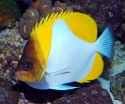 Zoster Yellow Butterflyfish