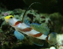 Antenna Goby