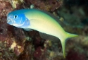 Bluehead Tilefish Goby