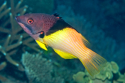 Eclipse Hogfish