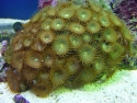 Green Button Polyps
