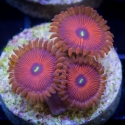 Pink Ring Of Fire Zoanthid