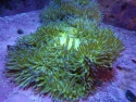 Tonga Ritteri Anemone (choose color)