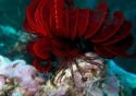 Feather Starfish Red