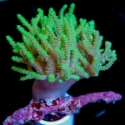Rasta Leather Coral: Neon Green - Australia