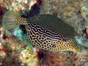 Scribbled Boxfish: Female - Ostracion solorensis
