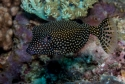 Black Boxfish (Female) - Ostracion meleagris