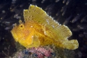 Leaf Fish: Yellow - Taenianotus triacanthus