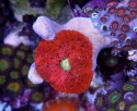 Carpet Anemone: Mini Red - Small - Stichodactyla sp.