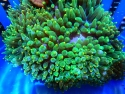 ANEMONE GREEN BUBBLE INDO ORANGE TIP 4 TO 6 INCH