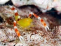 Gold Coral Banded Shrimp - Stenopus sp.