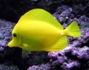 Yellow Tang; Haw. - Zebrasoma flavescens