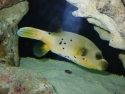 Dogface Puffer Yellow Belly