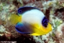Multicolor Pygmy Angelfish