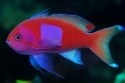 Square Box Anthias