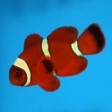 Goldstripe Maroon Clownfish (Indian Ocean)