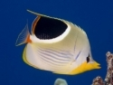 Saddle Back Butterflyfish