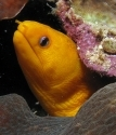 Gold Moray Eel (HAW)
