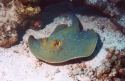 Bluespottted Stingrays